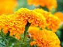 Marigold Oleoresin Oil Soluble